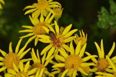 Red soldier beetle feeding on ragwort