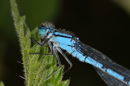 Close up of blue dragonfly on nettle leaf photo