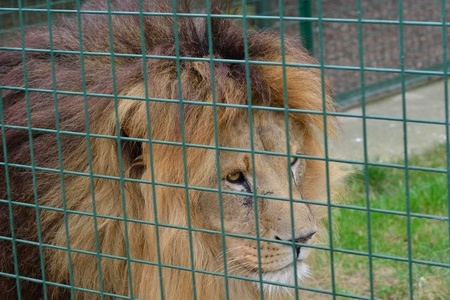 Lion prowling behind cage photo
