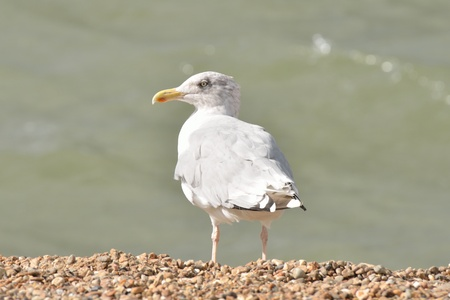 Sea gull standing by shore photo