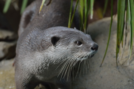 clawed: Close up of Otter