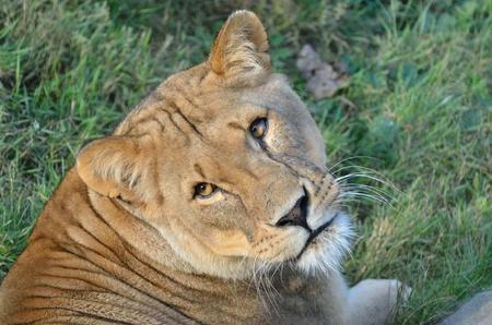facing the camera: Lioness facing camera Stock Photo