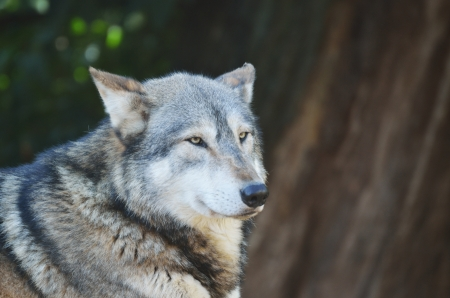 Timber Wolf Head and Shoulders photo