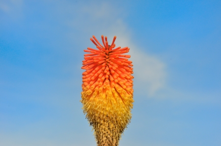 pokers: single red hot poker with sky background Stock Photo