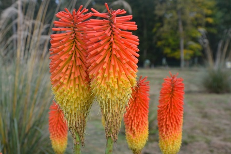 pokers: Group of red hot pokers Stock Photo
