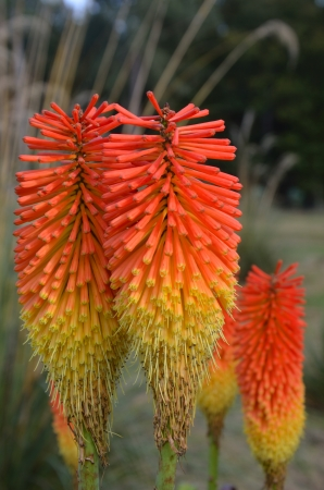 pokers: Close up of red hot pokers