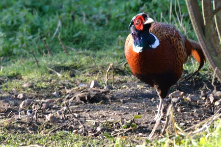 Male pheasant at farm Stock Photo - 16927801