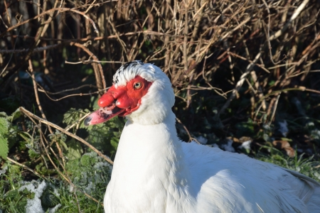 caruncle: Muscovy Duck in profile
