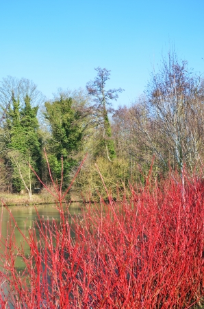 Winter scene with red shrub photo
