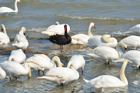 discrimination: Black swan standing out amongst white swans