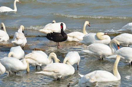 discriminacion: Cisne negro destacándose entre cisnes blancos