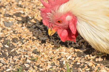 feed up: Chicken pecking on corn Stock Photo