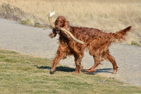 Red Setter with Big stick photo