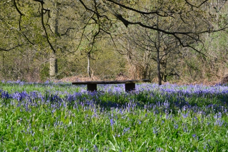 Carpet of Bluebells with seat photo