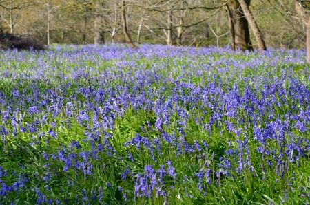 Large carpet of bluebells photo