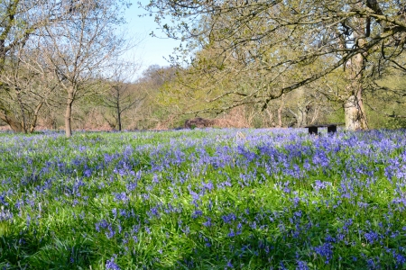 Carpet of Bluebells in Forest Stock Photo - 19452635
