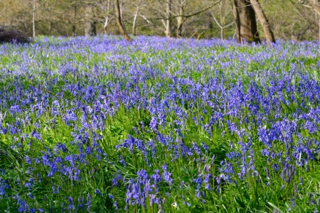 Large Field of Bluebells Stock Photo - 19716907