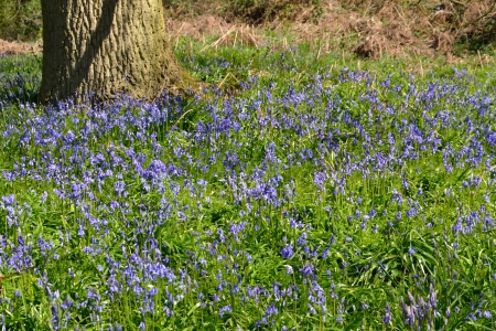 Field of Bluebells with tree trunk Stock Photo - 20049284