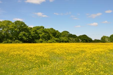 buttercups: Meadow of Buttercups