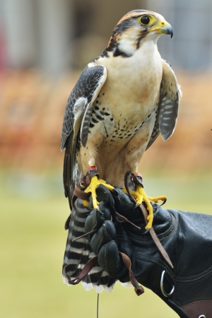 Falcon on hand of trainer