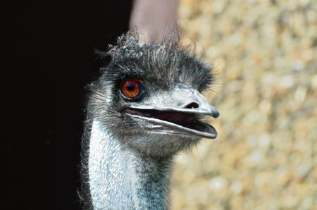 Emu head looking forward photo