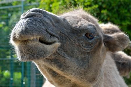 Head of Camel in close up photo