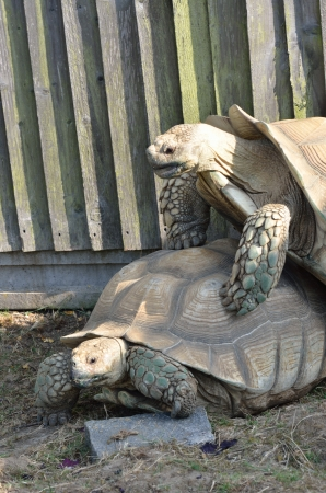 animal sex: Two Tortoises Mating Stock Photo