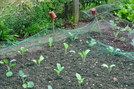庭で若いキャベツ 写真素材