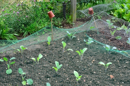 Young Cabbages in garden