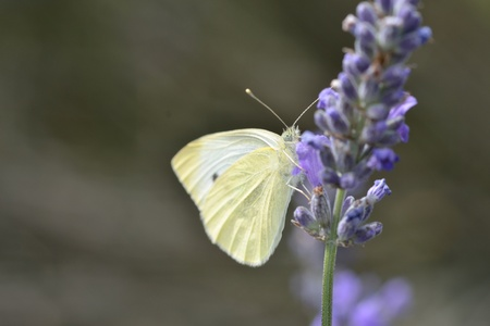 Small white Butterfly on lavender photo