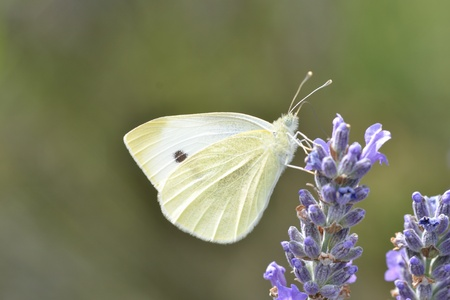 Small White Butterfly in close up photo