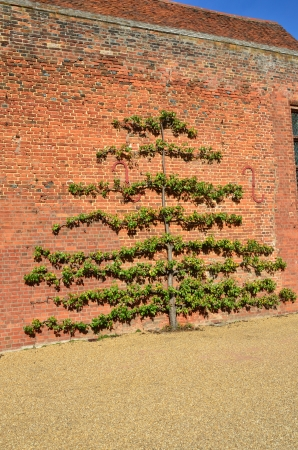 trained: Apple tree trained on red brick Wall