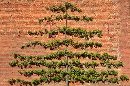 Large fruit tree trained on brick wall