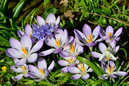 large group of crocusus photo