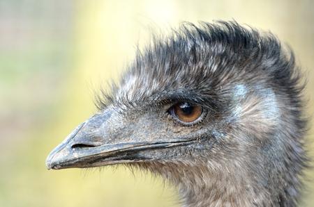 dromaius novaehollandiae: Emu cabeza