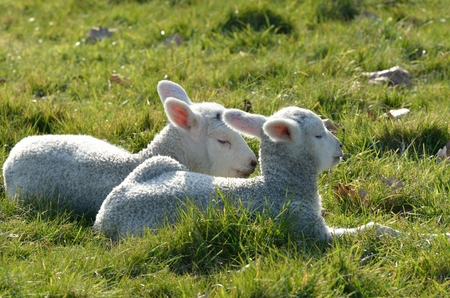 lambing: Two lambs lying in field