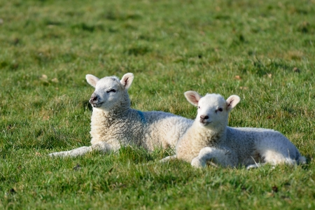 lambing: Two Lambs in field
