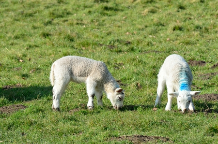 lambing: Pair of Lambs in Field Stock Photo