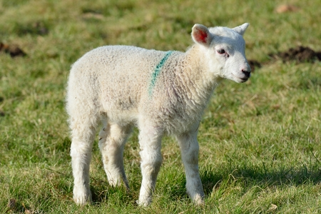 lambing: Single lamb in Field