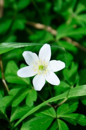 anemone flower: Bianco fiore di anemone Archivio Fotografico