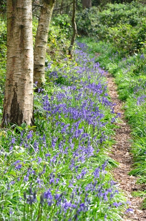 Pathway with Bluebells in forest photo