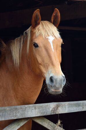 Portrait of chesnut horse photo