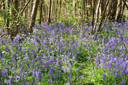 Bluebells in forest photo