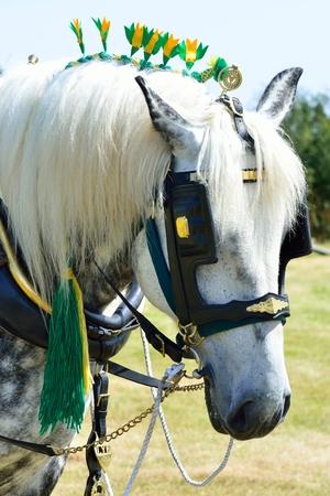 shire horse: White shire horse portrait