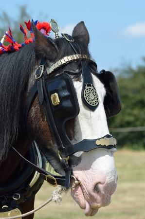 shire horse: Head of shire horse Stock Photo