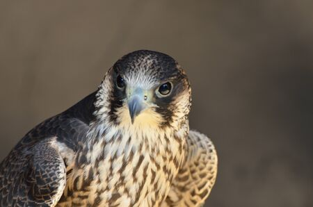 falco peregrinus: Peregrine Falcon in close up