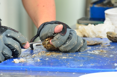 shucked: Preparing Oysters with sharp knife