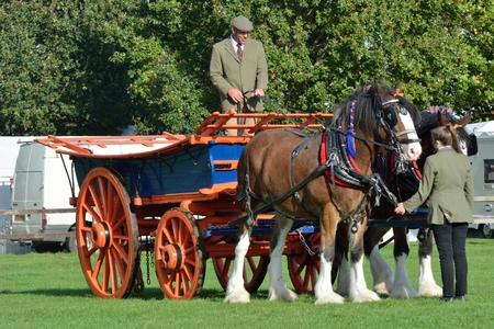 shire horse: IPSWICH SUFFOLK  UK  25 October 2014:  East Anglia Equestrian Fair pair of shire  horses and cart in ring