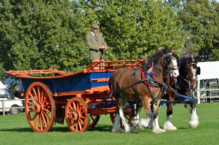 shire horse: IPSWICH SUFFOLK  UK  25 October 2014:  East Anglia Equestrian Fair pair of shire  horses and cart showing in ring