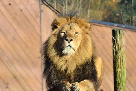 facing to camera: large male lion facing camera